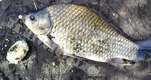 кукурузная прикормка для рыбалки