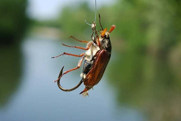 наживка жук