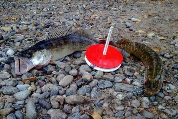 рыба на кружки