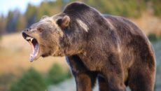 напал медведь
