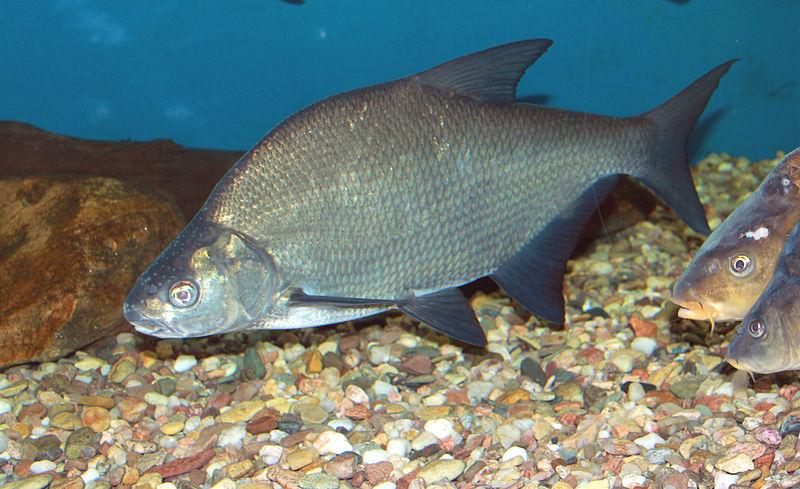 Рыба лещ и способы его ловли