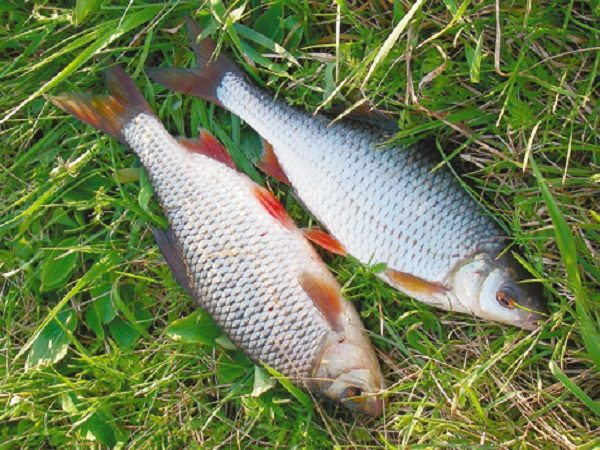 Плотва в июне, июле и августе или особенности летней ловли
