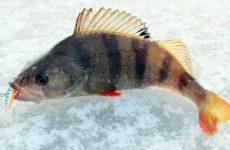 Зимний улов окуня