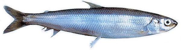 Корюшка Малоротая морская