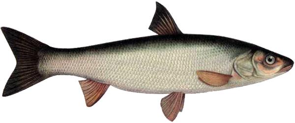 Ловля красноперки: снасти, приманки и образ жизни рыбы Морская Рыба В Воде