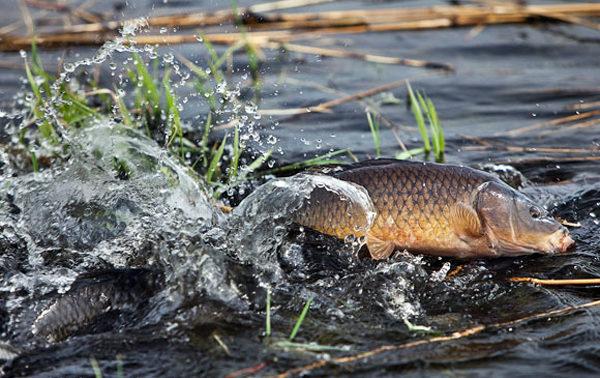 Рыба сазан: описание, повадки и способы ловли