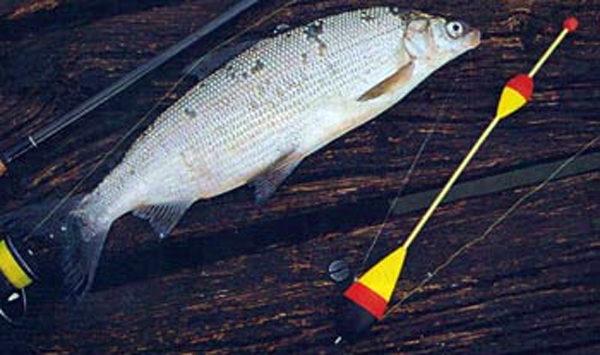 Рыба сиг: подробное описание и его ловля зимой и летом