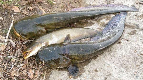 Самый большой сом и другие факты об этой рыбе (фото)