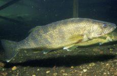судак под водой