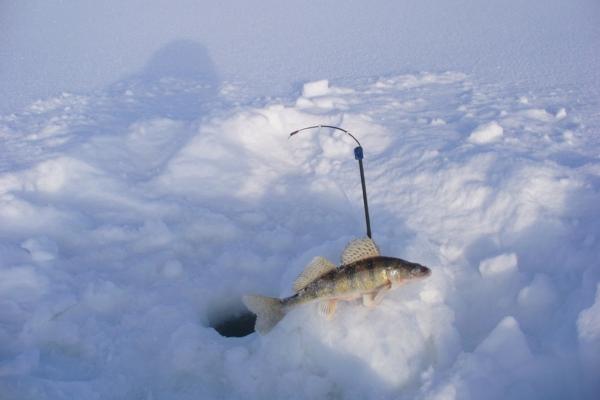 берш ловля зимой