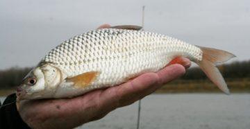 рыба вобла