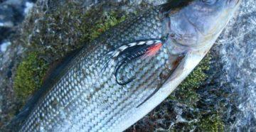 Стимер на фоне рыбы