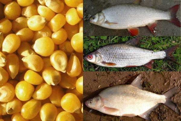рыба на кукурузу