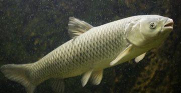 вид рыбы амура