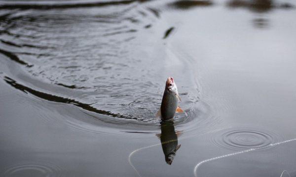 плотва в воде
