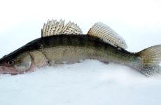 Зимний судак на тюльку