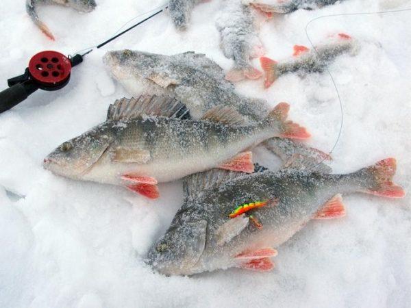 окуни на льду