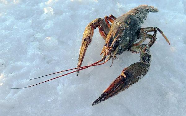 Зимння ловля раков