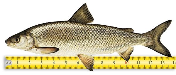 Подробное описание рыбы сиг и способов его ловли