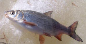 подуст рыба
