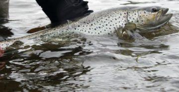 лосось в руках